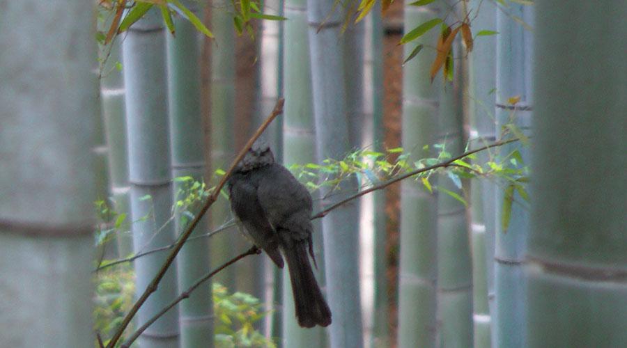 竹林のヒヨドリ