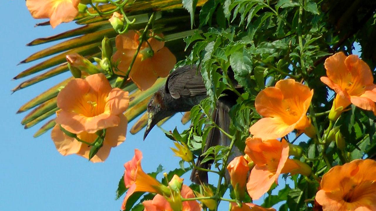 ヒヨドリ花のミツを吸う