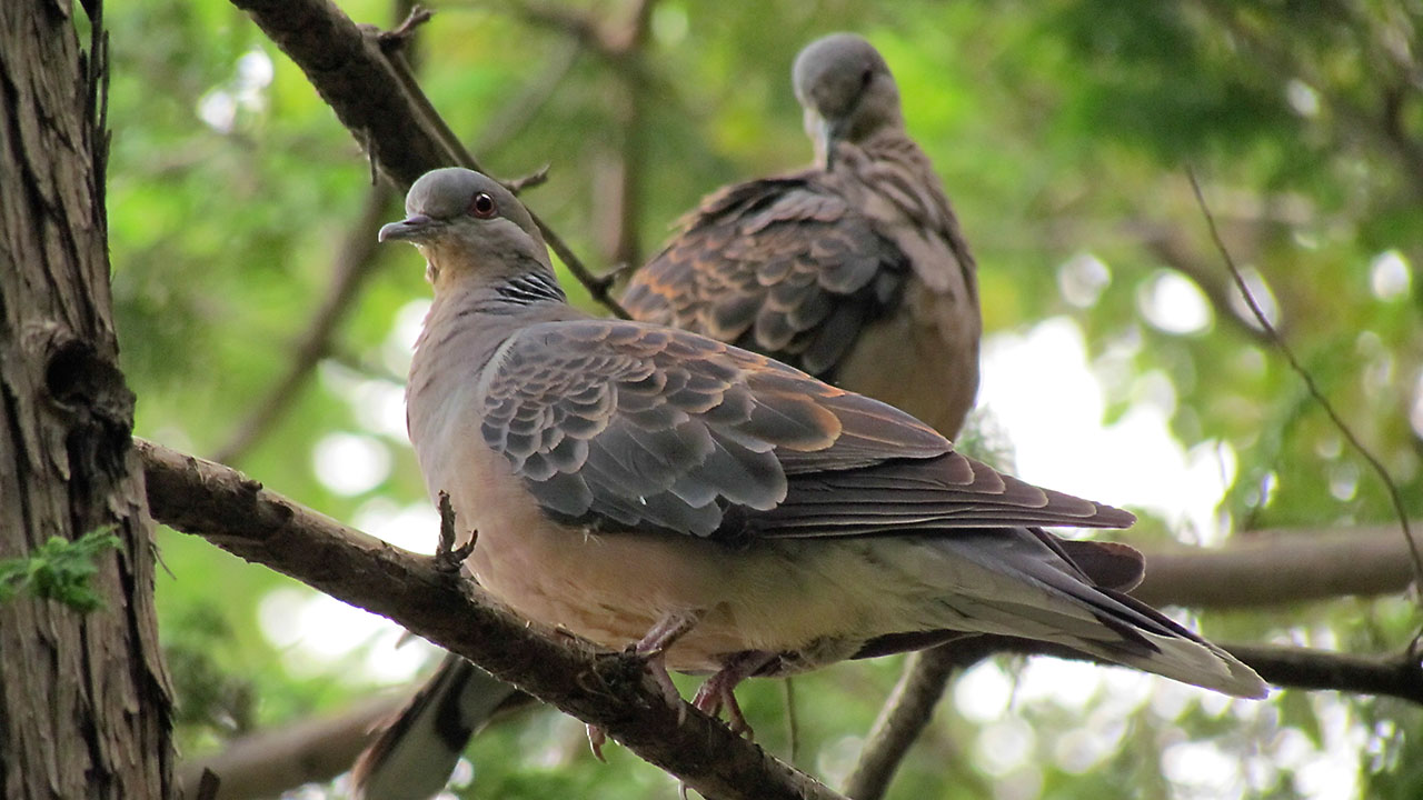 キジバト2羽で仲良く留まり
