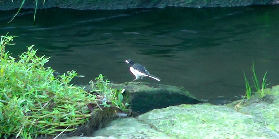 セグロセキレイ河原に降り立つ斜め背中
