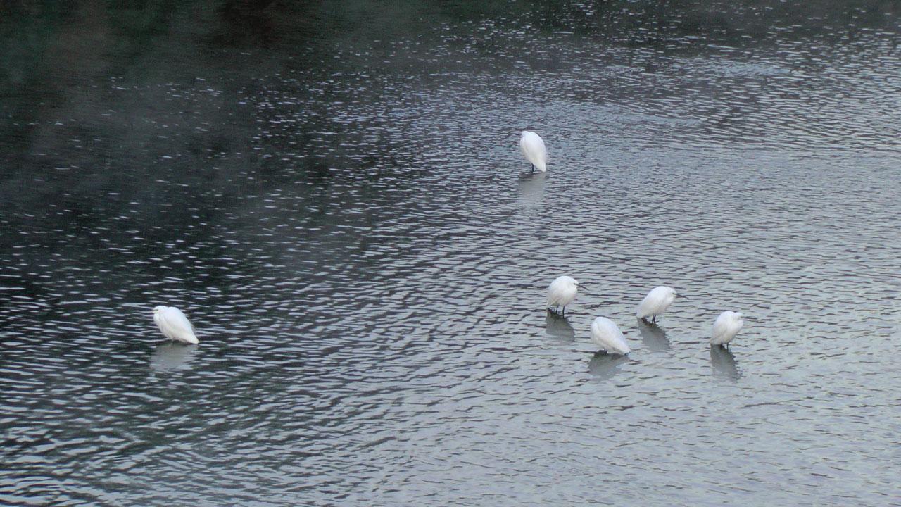 朝もやの中のコサギ集団2