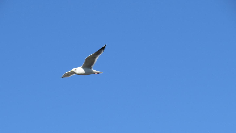 セグロカモメ飛翔2