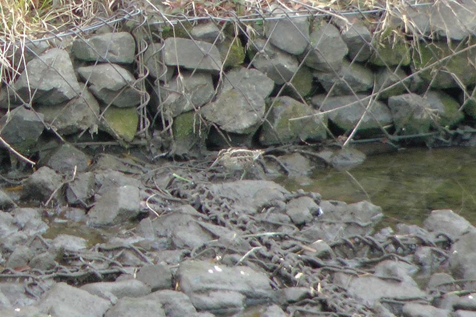 タシギ谷本川に現れる