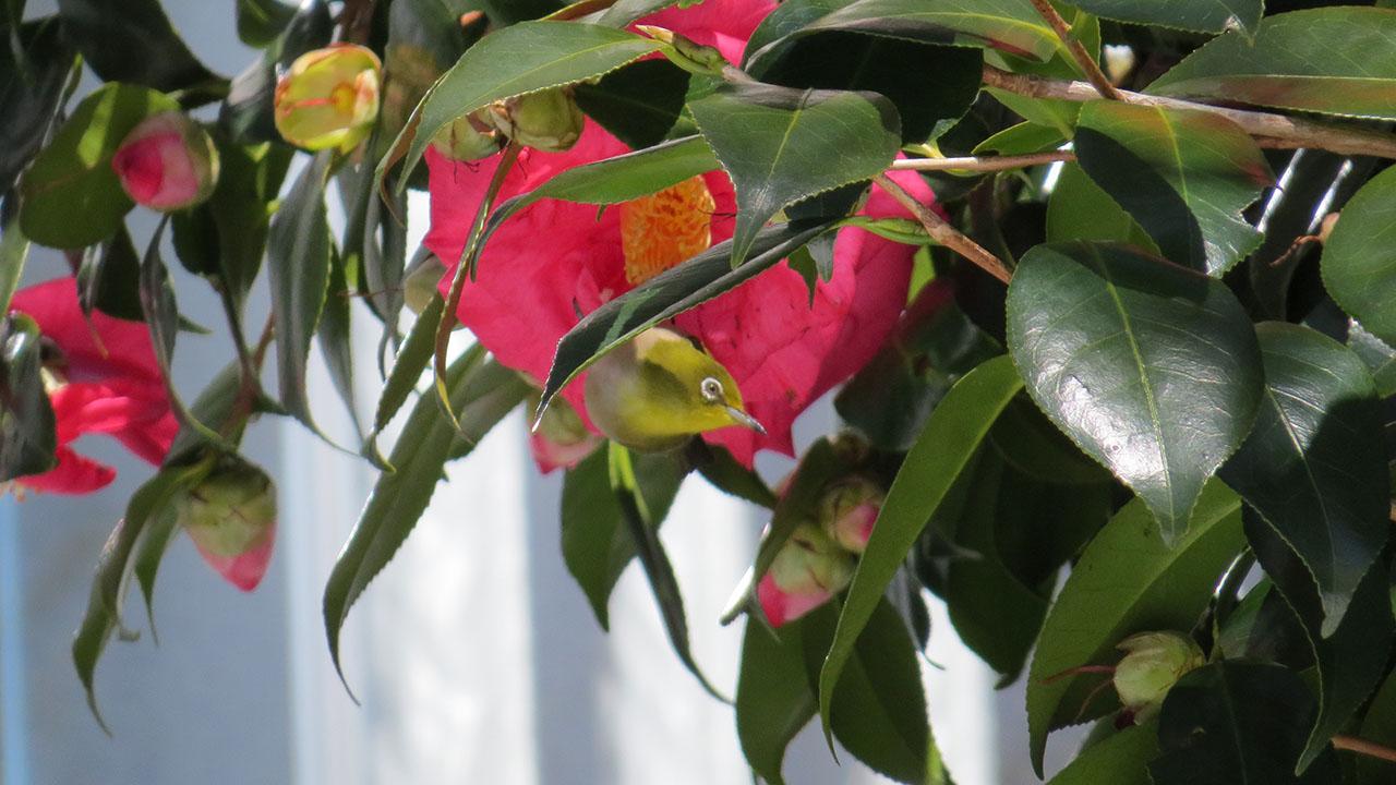 メジロ椿の花