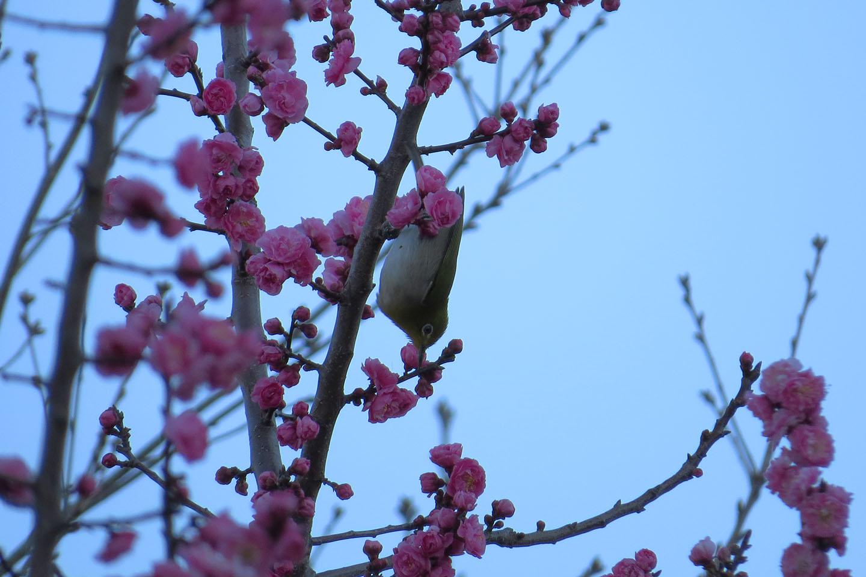 メジロ逆さ桜近所