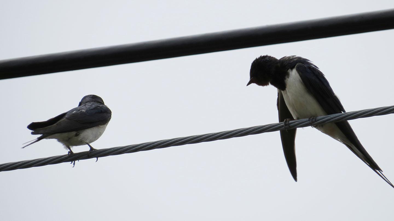 ツバメ2羽「おい下に何か落っこちてるぞ」