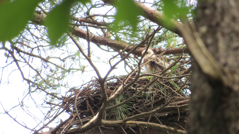 ツミ幼巣の中立ち上がる