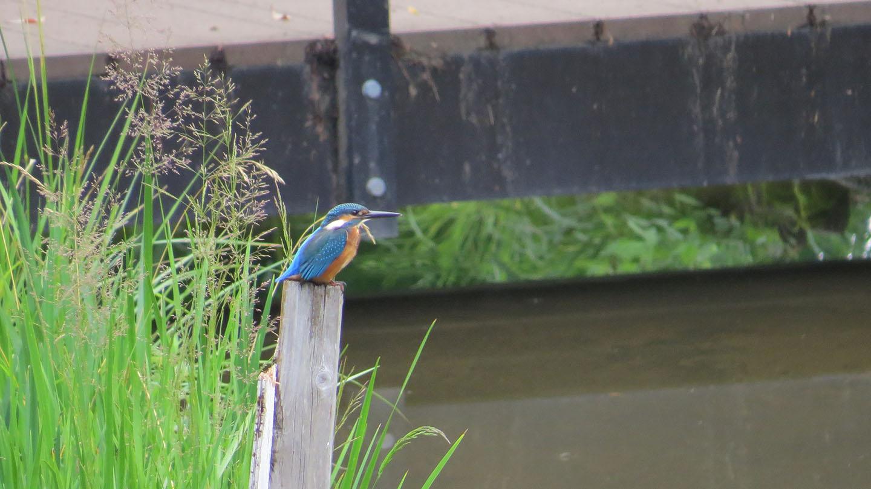 池の杭にとまるカワセミ丸っこい
