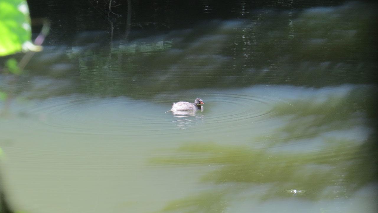 カイツブリ若大池に浮かぶ