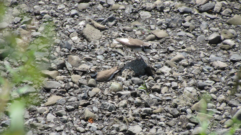 コチドリ雌雄