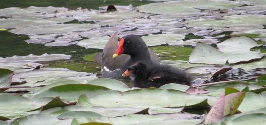 バン親と幼鳥寄り添う