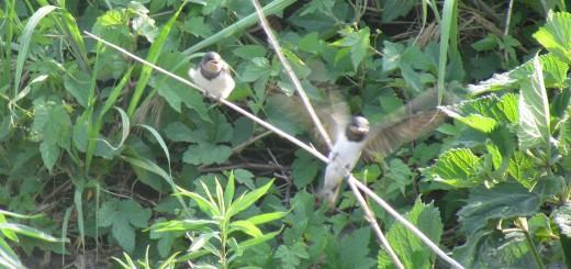 ツバメ若鳥2羽