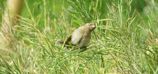 カワラヒワ若鳥菜種食べる