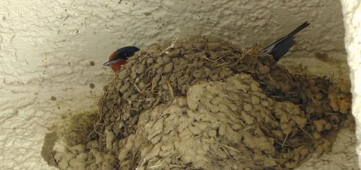 ツバメいつもの巣抱卵中