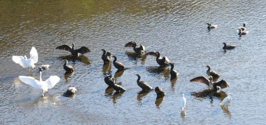 カワウ羽を乾かす