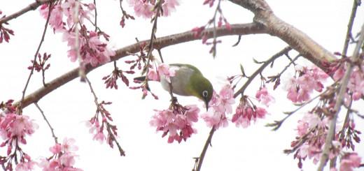 メジロしだれ桜下向き