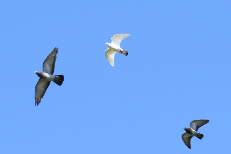 カワラバト白飛ぶ
