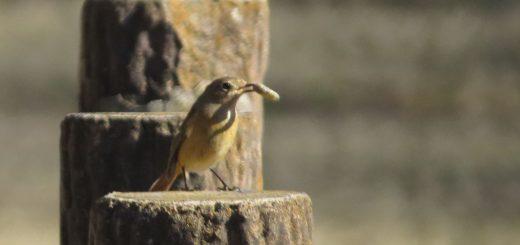 ジョウビタキ雌虫ゲット