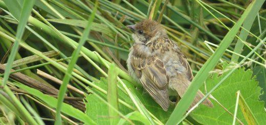 スズメ若鳥