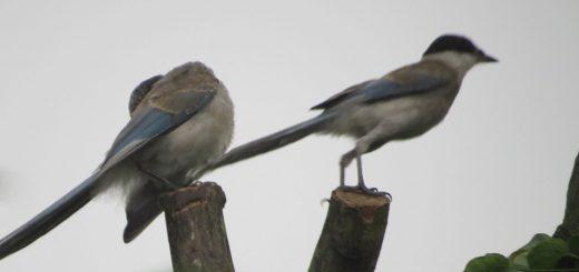 オナガ若鳥2羽