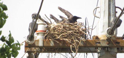 ハシボソガラス電柱に巣を作る