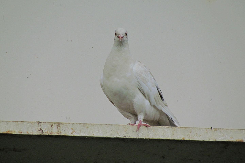 カワラバト白