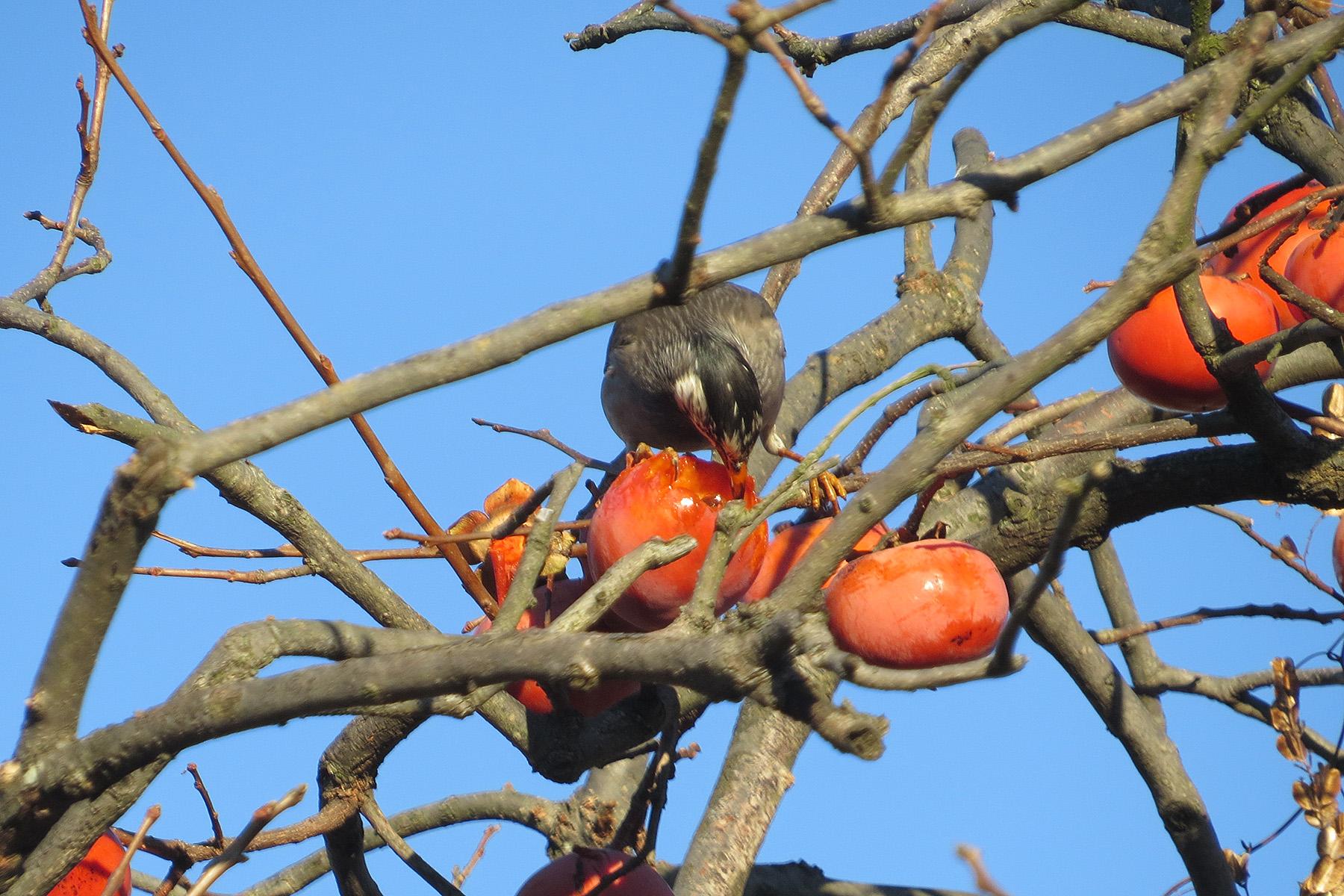 ムクドリ柿を食べる