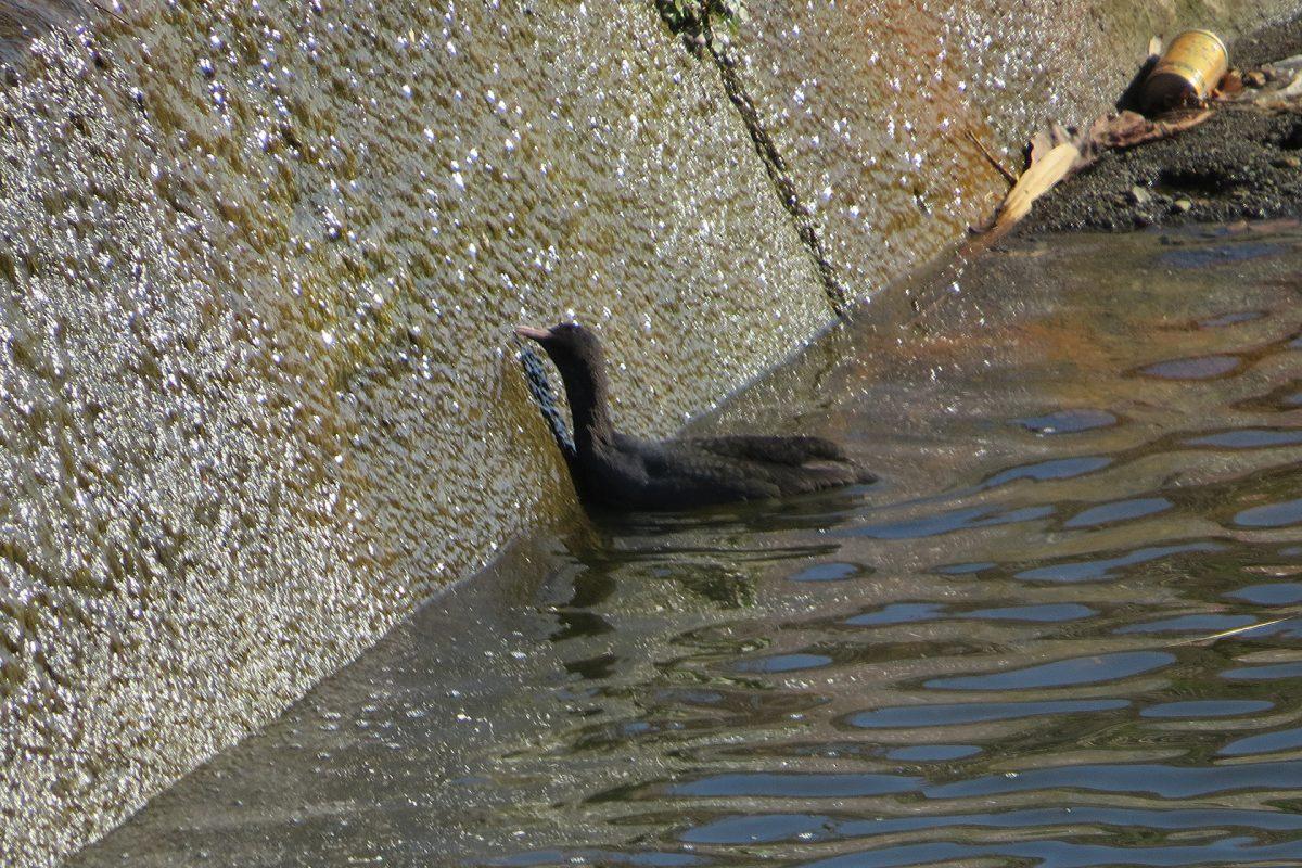 オオバン壁の藻を食べる