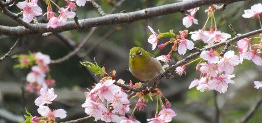 メジロ河津桜
