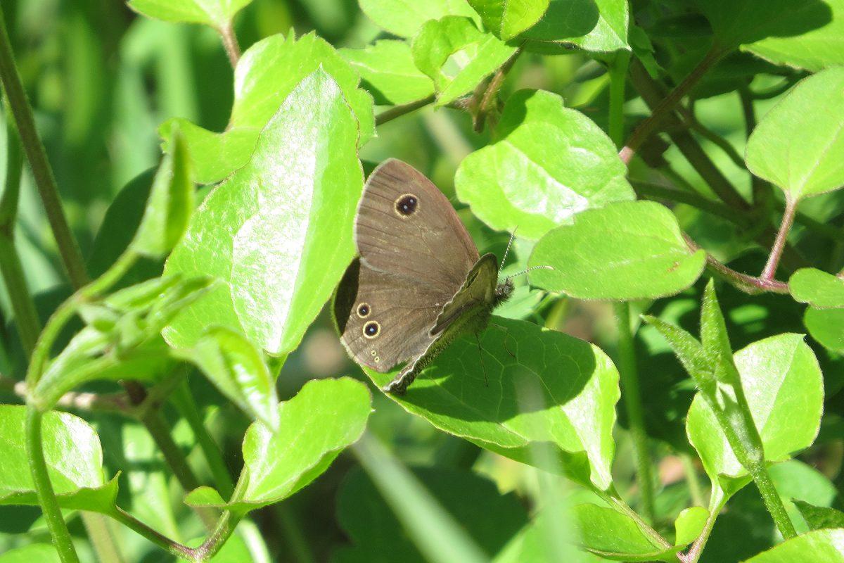 ジャノメ系蝶