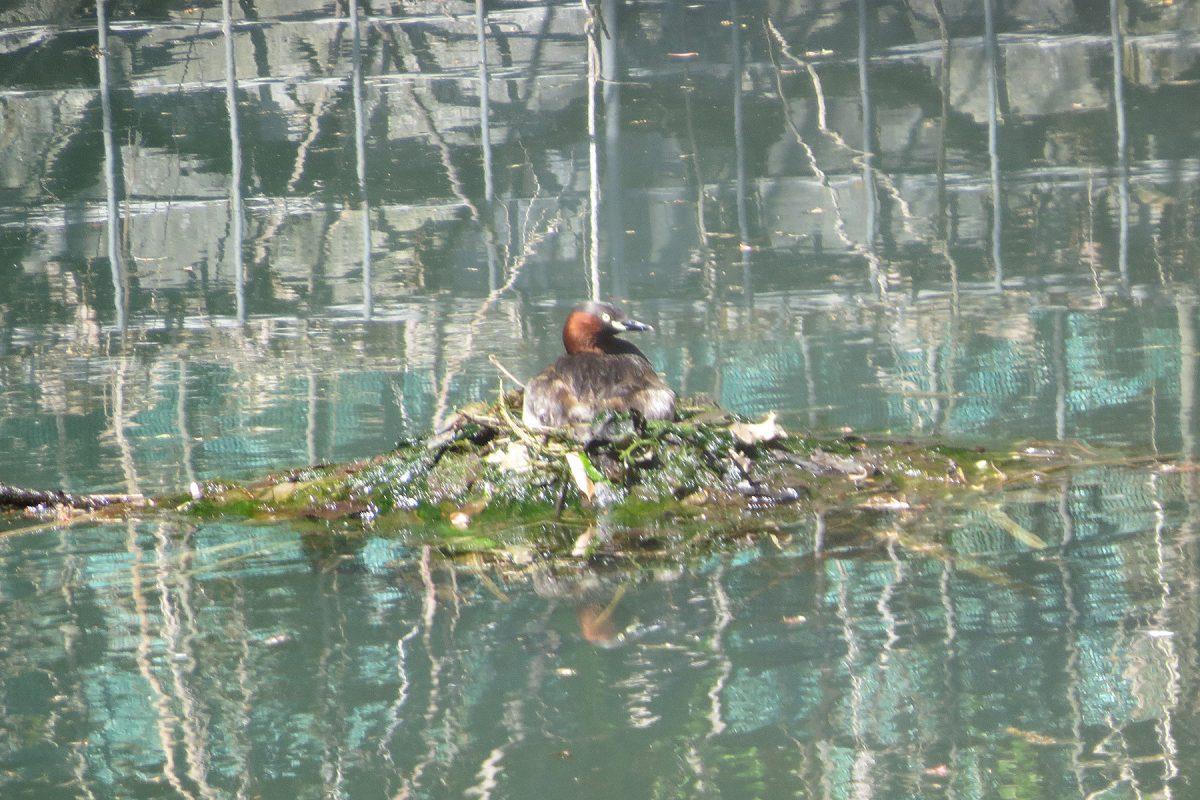 カイツブリ新池