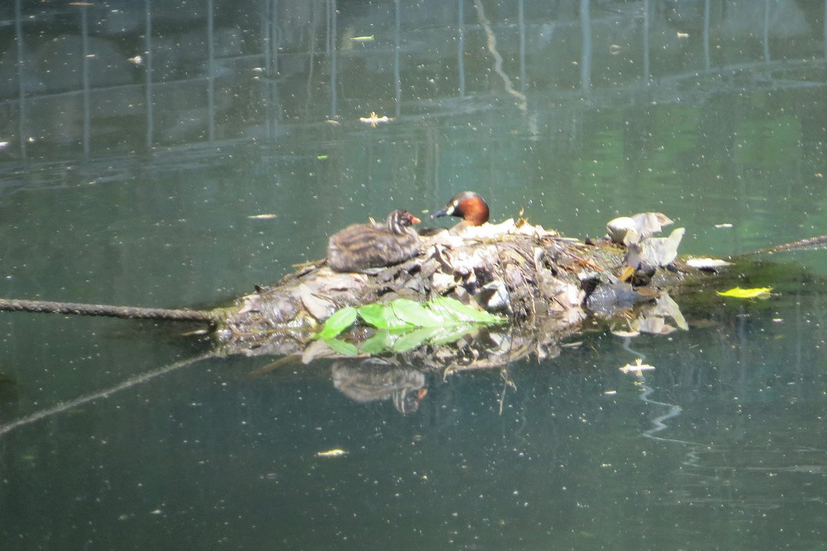 カイツブリ親子新池