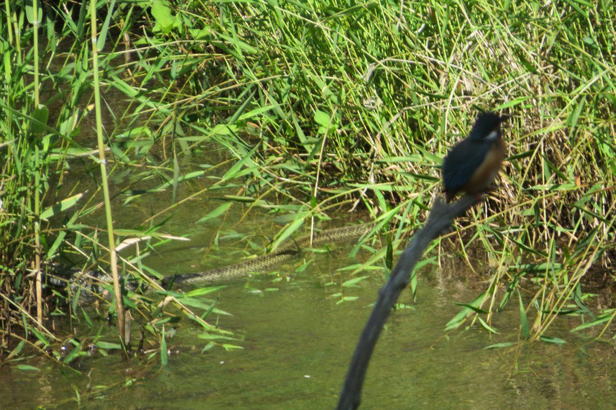 四季の森公園のカワセミとヘビ