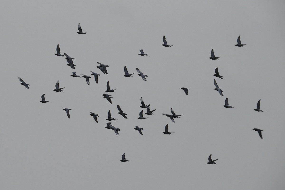 ドバト(カワラバト)群翔