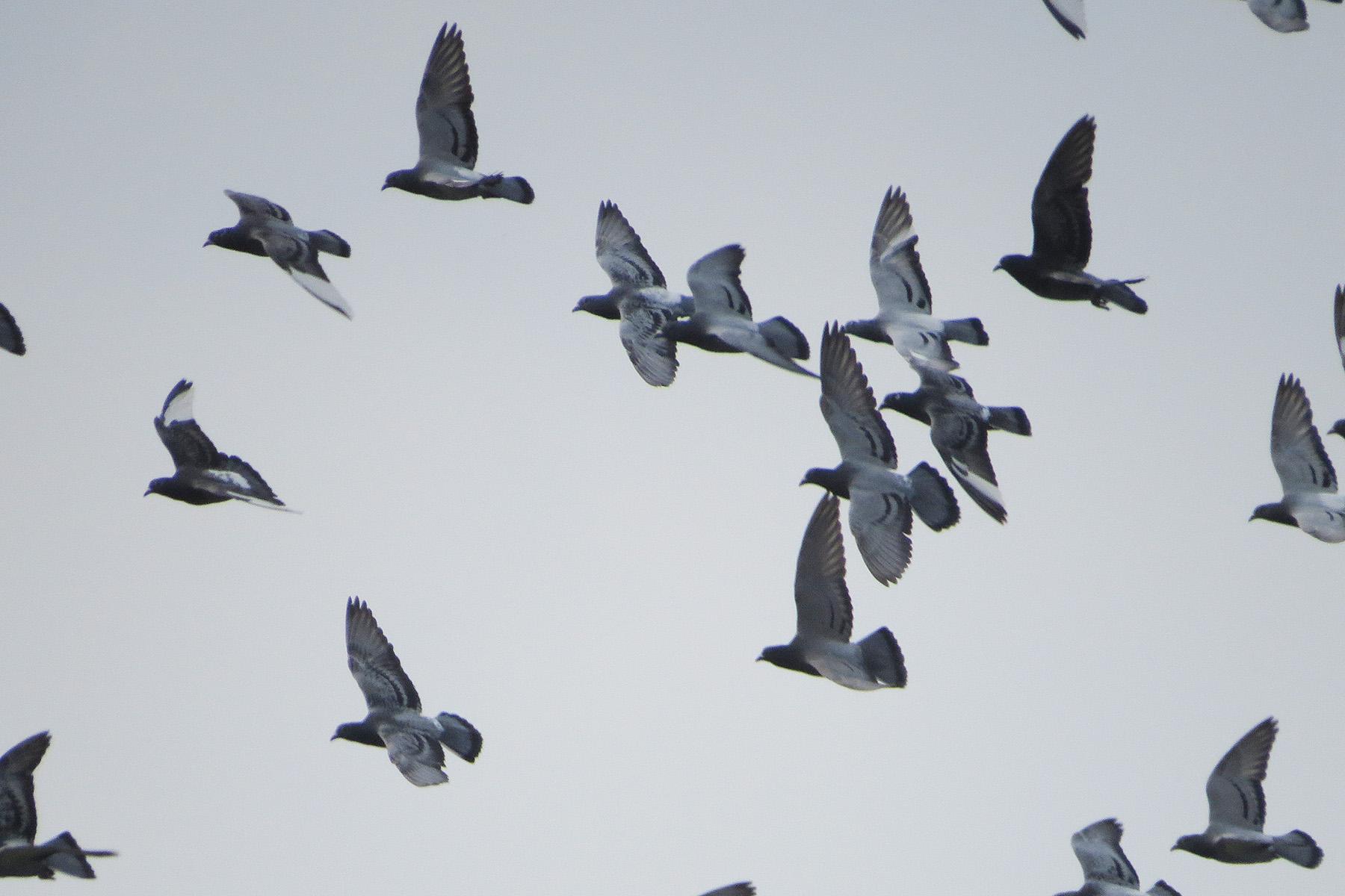 カワラバト群翔