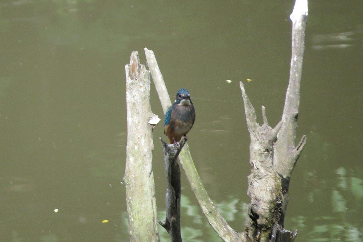 カワセミ若鳥