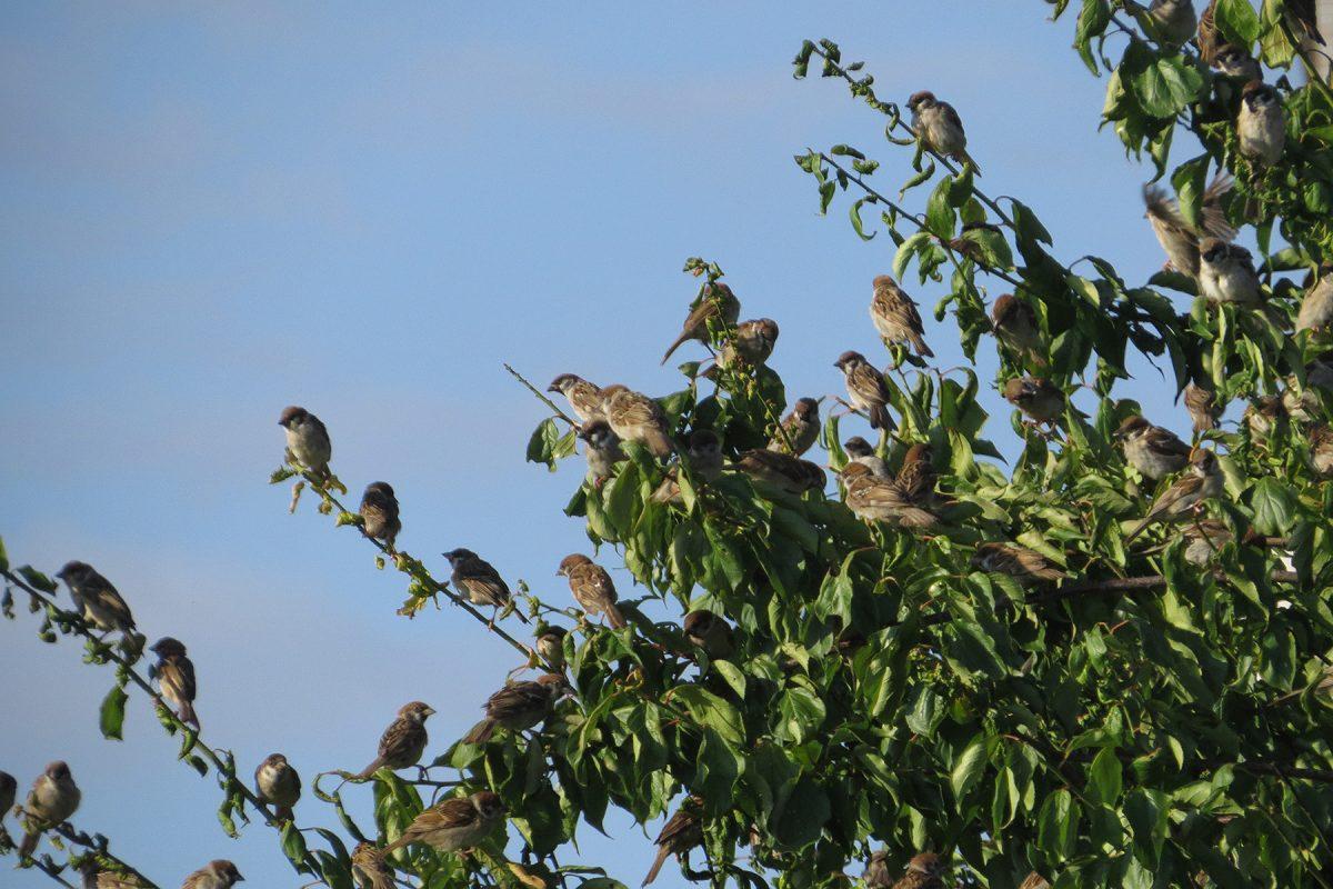 スズメたち木の上