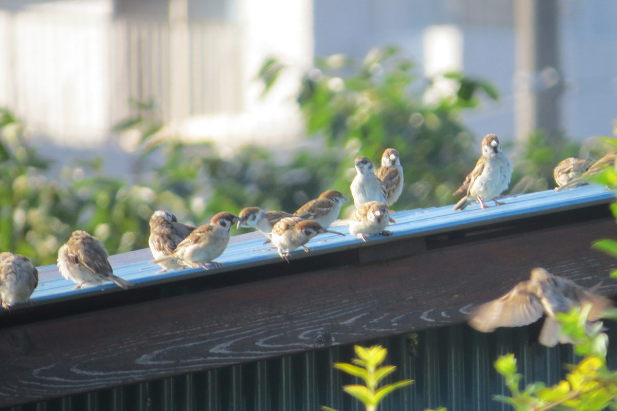 スズメ屋根の上