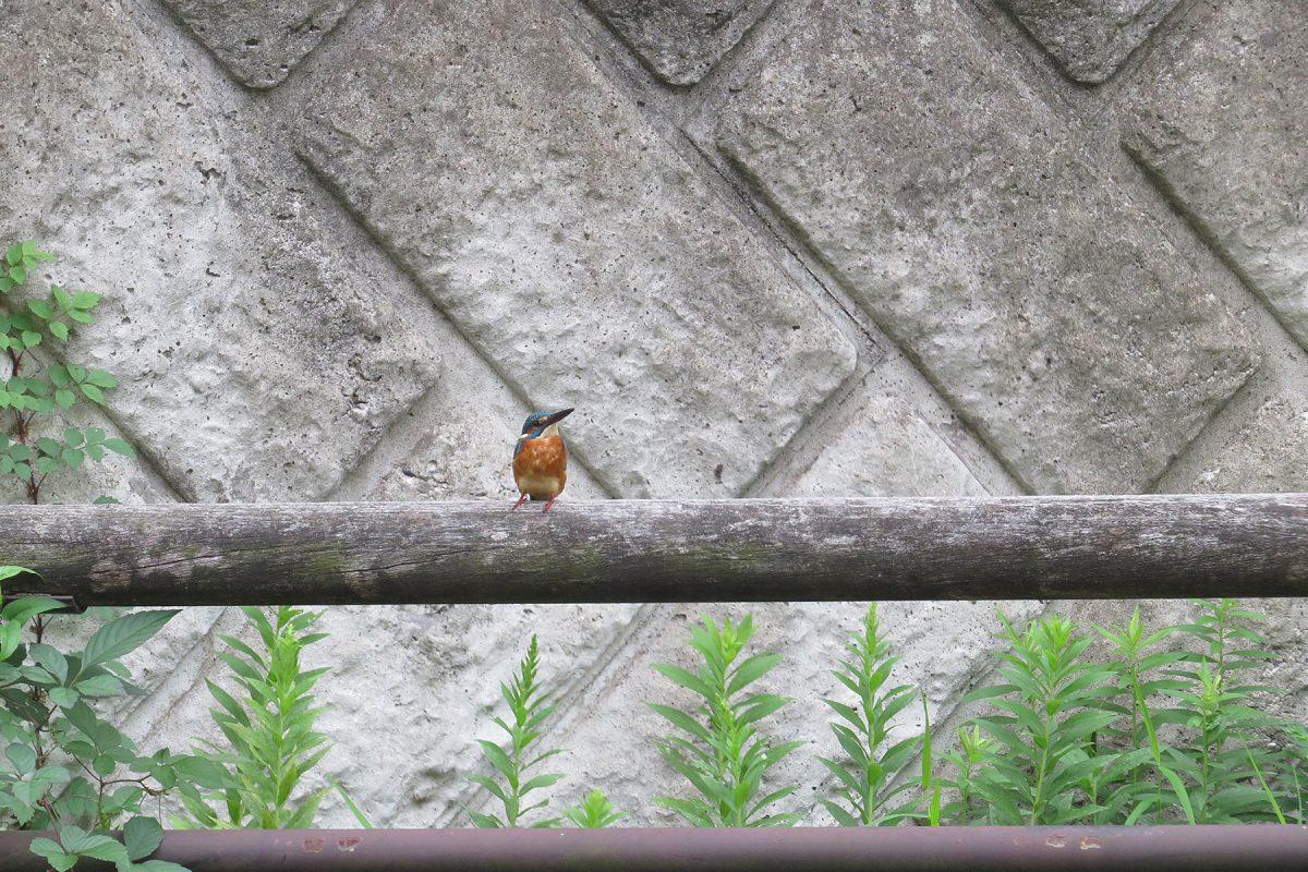 カワセミ柵の上