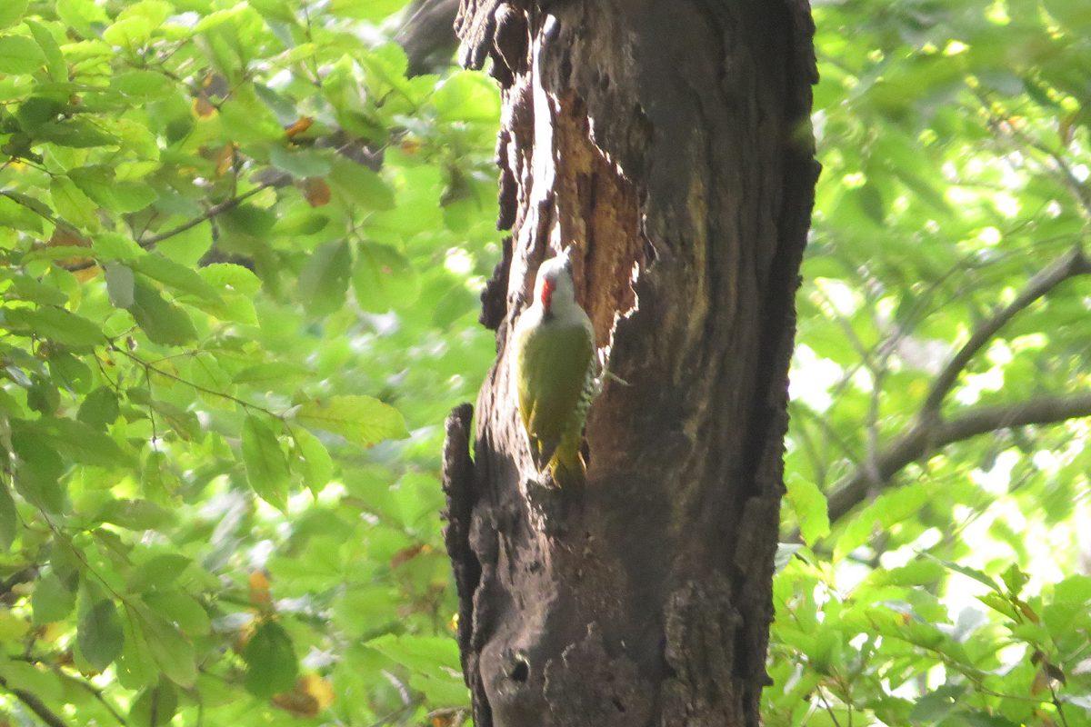 アオゲラ枯れ木