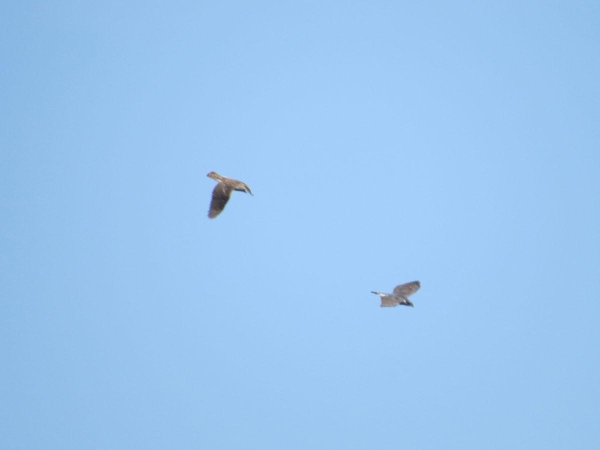 オオタカ若鳥成鳥