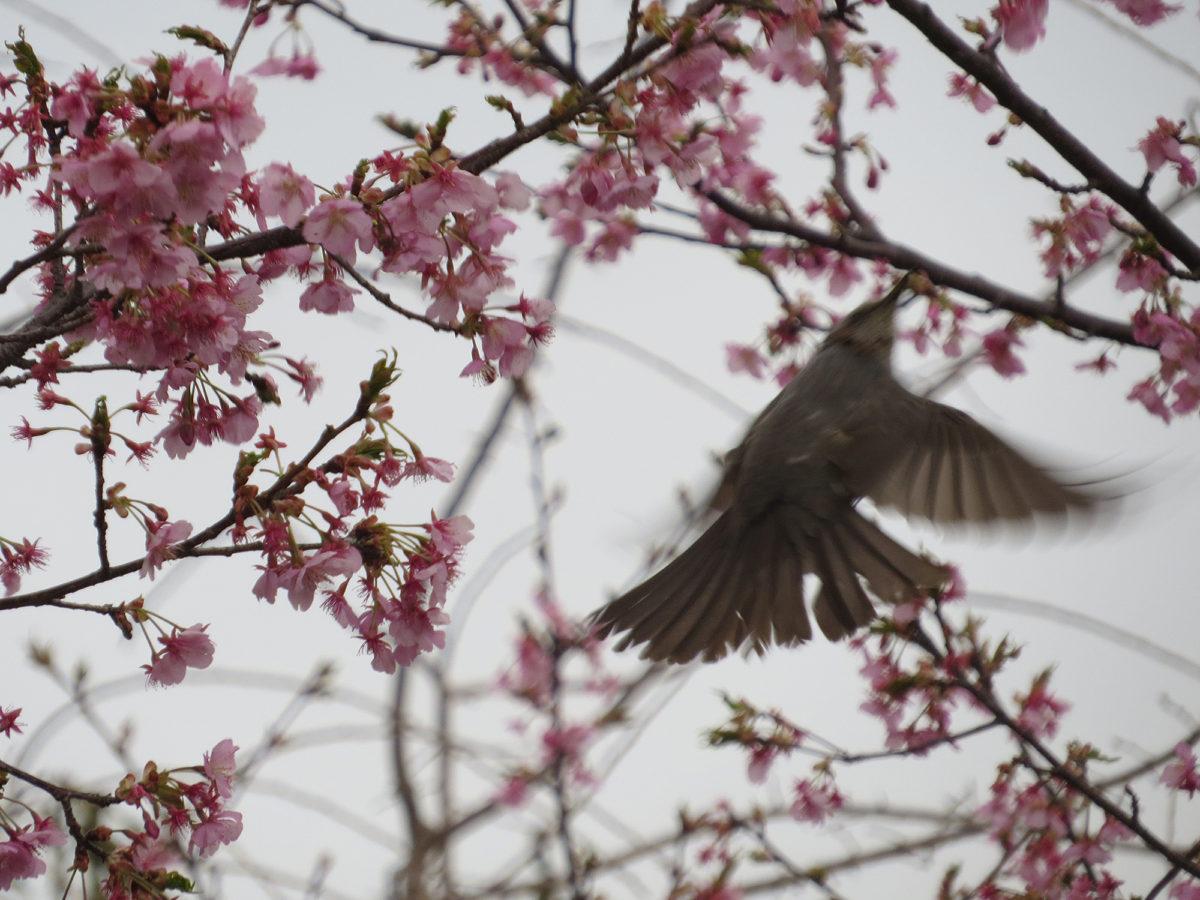 ヒヨドリ桜飛ぶ