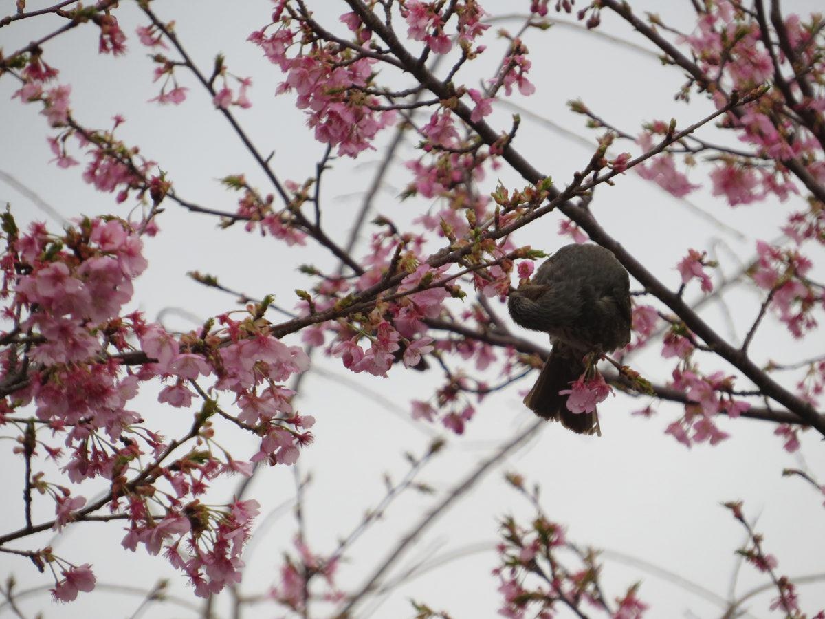 ヒヨドリ桜