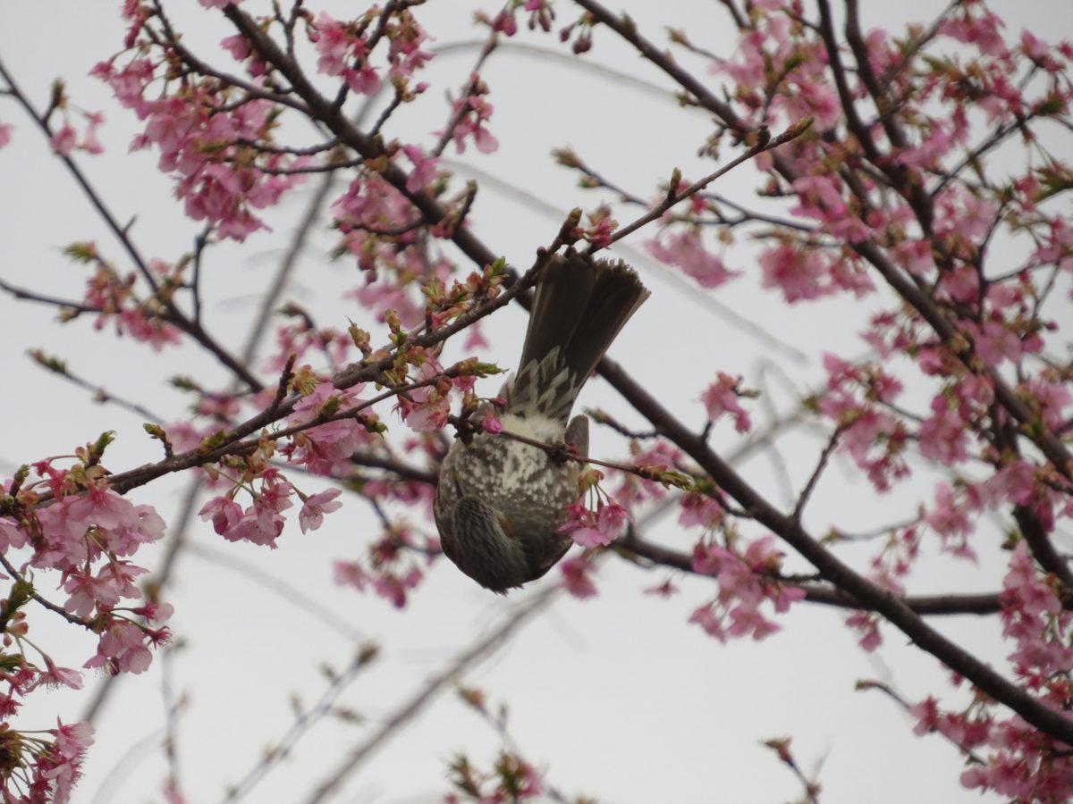 ヒヨドリ桜逆さ