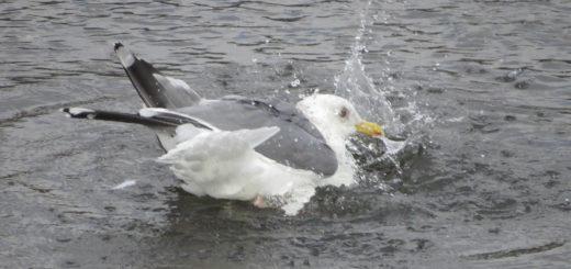 セグロカモメ水浴び