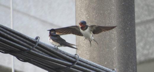 ツバメ2羽飛ぶ