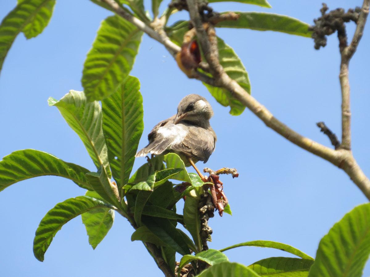 ムクドリ幼鳥ビワの木