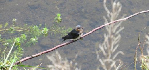 ツバメ幼鳥メイン