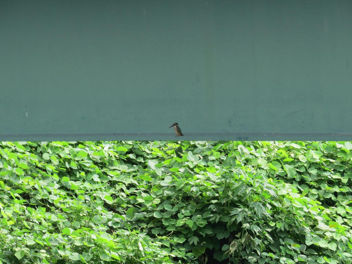 カワセミ幼鳥ロング