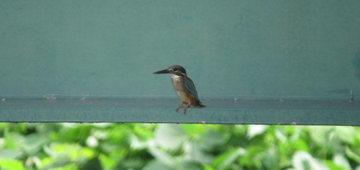 カワセミ幼鳥